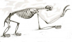 bradypus cuvier