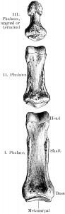 HUMAN PHALANGE  (Clipart courtesy FCIT)